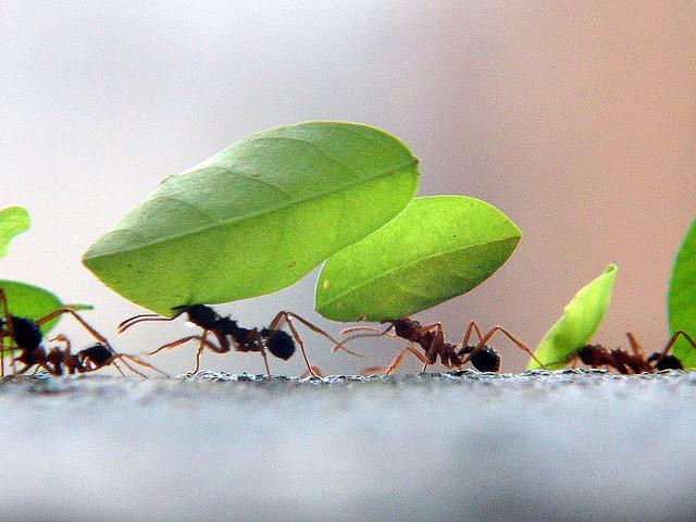 folosirea cafelei impotriva furnicilor1