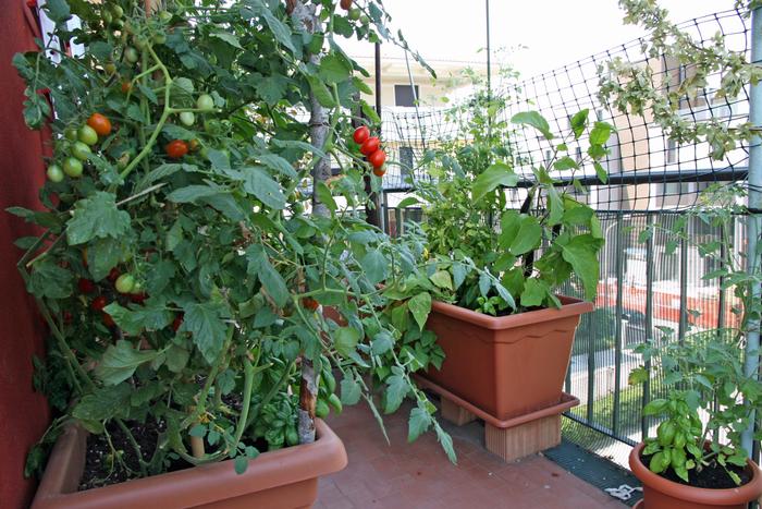 legume pe terasa 2