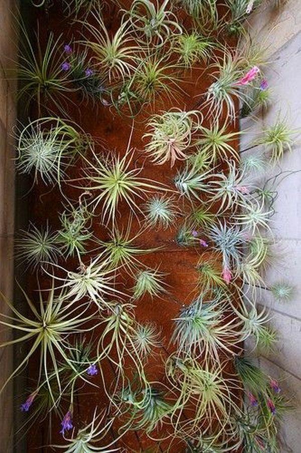 plante de aer 6