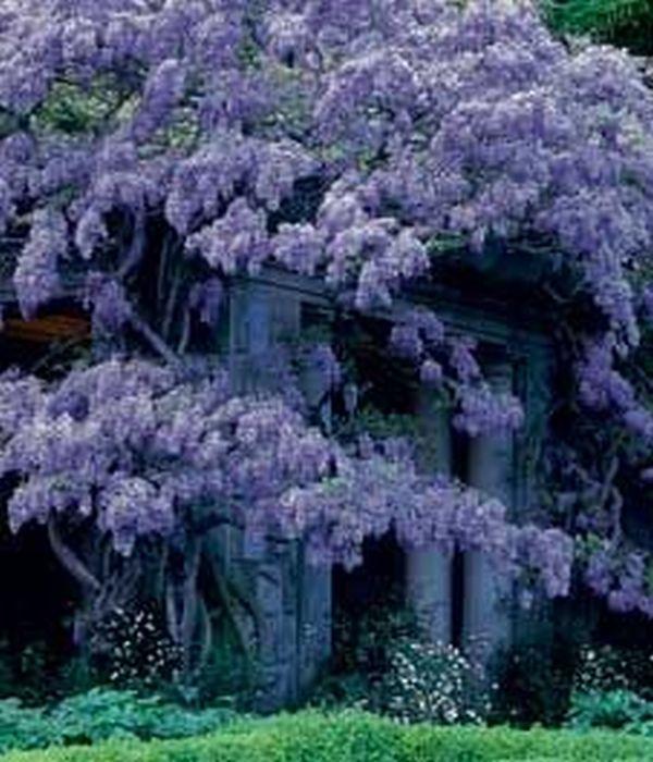 wisteria 11