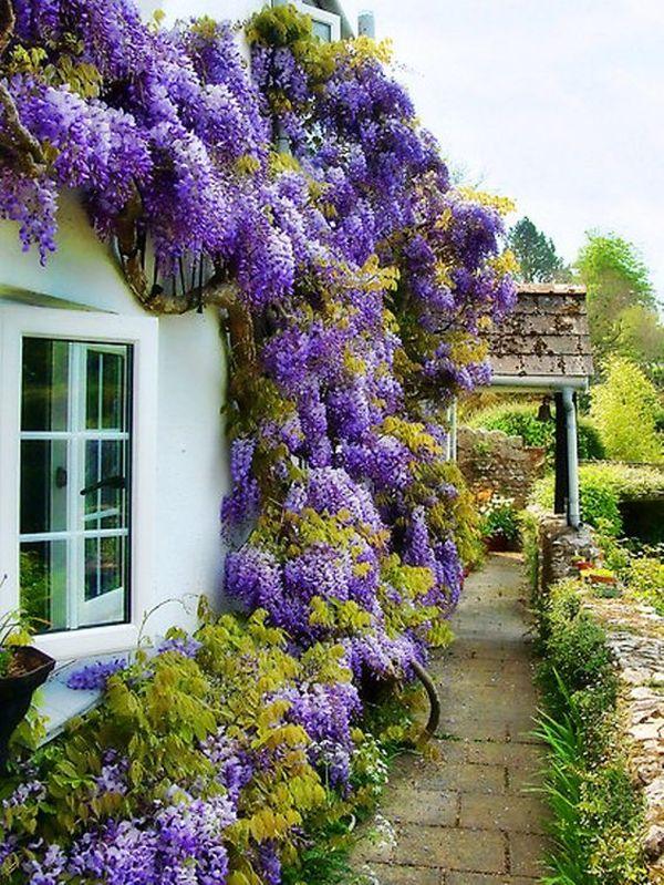 wisteria 5