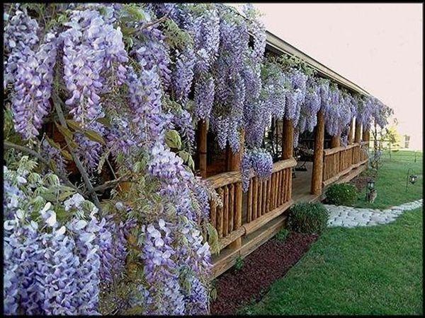 wisteria 8