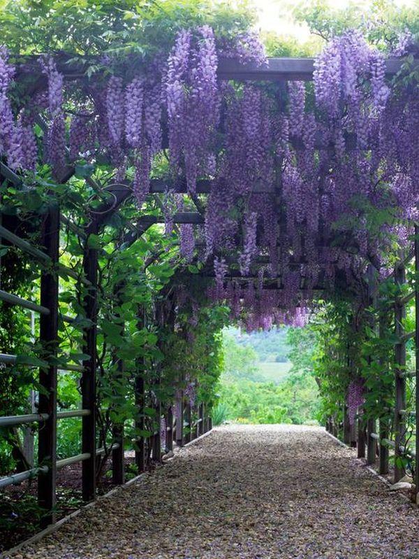 wisteria 9