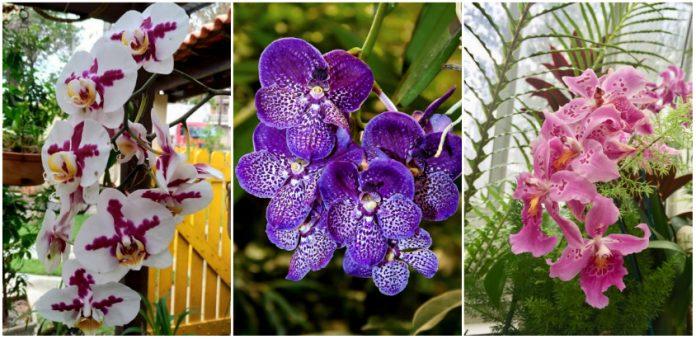 Sfaturi utile -Despre ingrijirea corecta a orhideelor