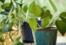 plante care atrag banii