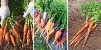 cultura de morcovi