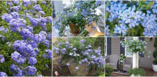 iasomia albastra