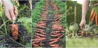 sfaturi de crestere a morcovilor