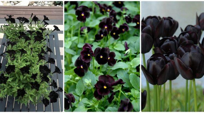 flori negre