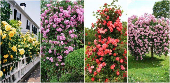 tufe bogate de trandafiri 1