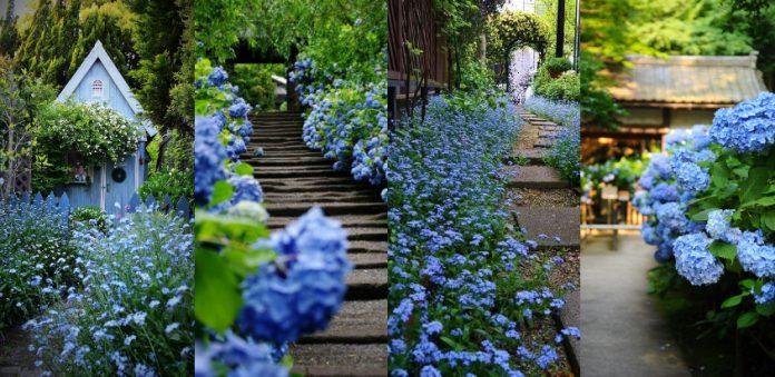valuri de flori albastre